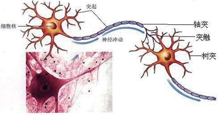 大脑细胞解析图 [来自网络)